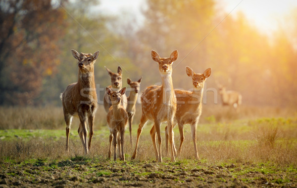 Deer in autumn field Stock photo © byrdyak
