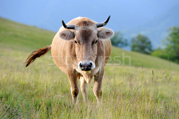 Cow on mountain pasture Stock photo © byrdyak