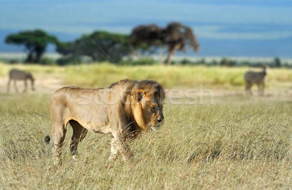 Leão grama parque África Quênia família Foto stock © byrdyak
