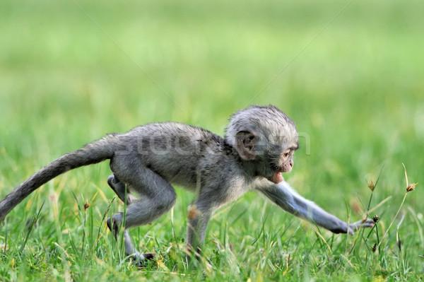 Maymun bebek monkeys park Kenya Afrika Stok fotoğraf © byrdyak