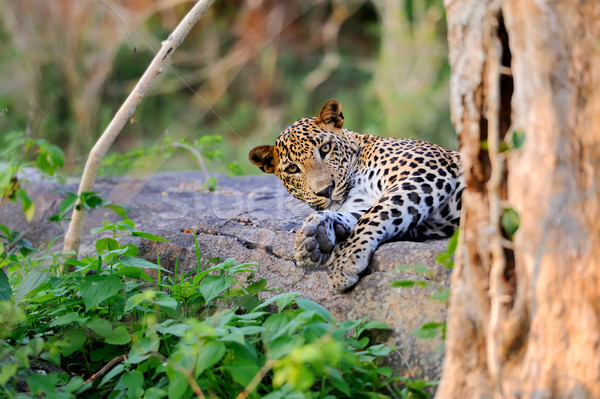 Leopardo ilha Sri Lanka olho cara Foto stock © byrdyak