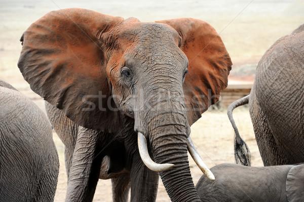Stock fotó: Elefánt · park · Kenya · nagy · Afrika · baba