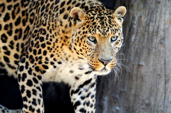 Leopard ciemne twarz charakter Zdjęcia stock © byrdyak
