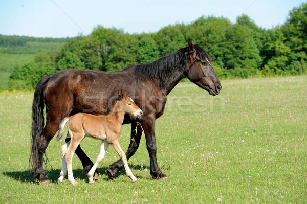 At atlar çalıştırmak alan yaz doğa Stok fotoğraf © byrdyak