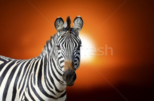 Zebra at sunset Stock photo © byrdyak