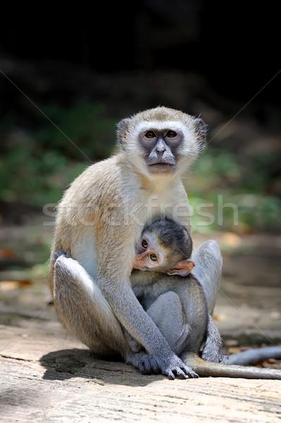 Monkey on a stone Stock photo © byrdyak