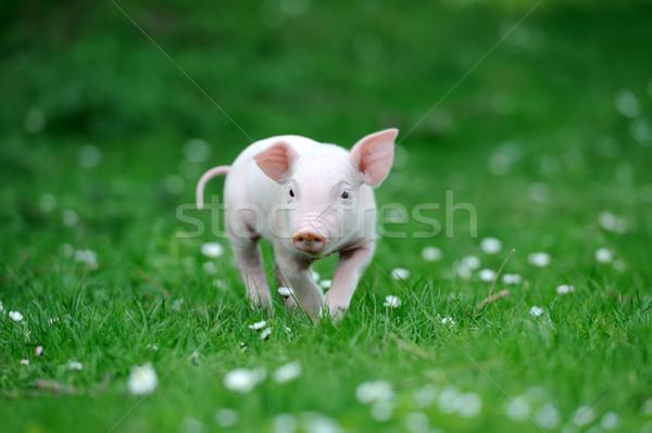 молодые свинья весны зеленая трава продовольствие лет Сток-фото © byrdyak