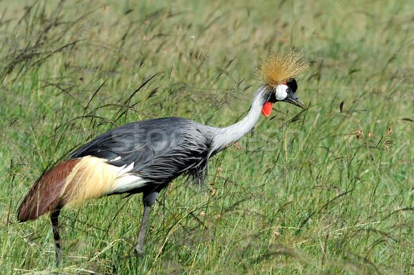 Crowned crane Stock photo © byrdyak