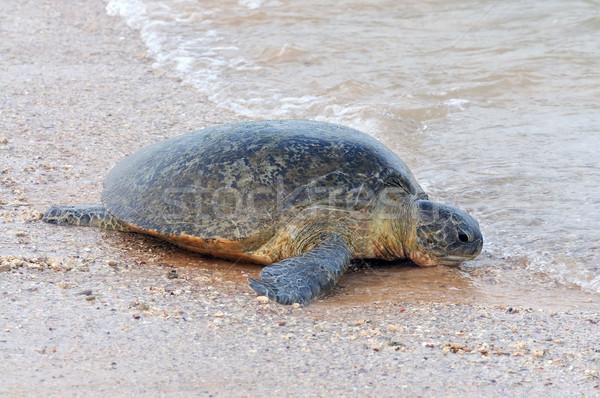 Schildpad wild strand Sri Lanka eiland natuur Stockfoto © byrdyak