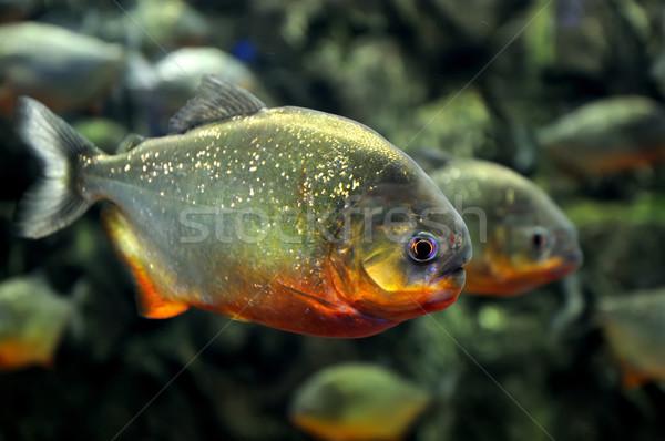 тропические пиранья природного среде рыбы Сток-фото © byrdyak