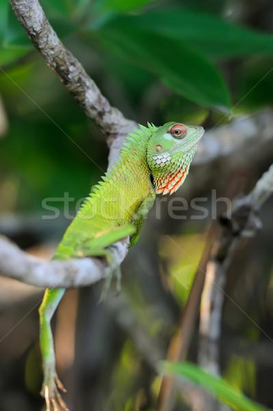Chameleon at tree branch Stock photo © byrdyak