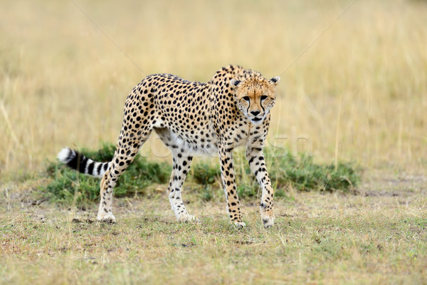 Gepárd vad park Kenya Afrika fű Stock fotó © byrdyak