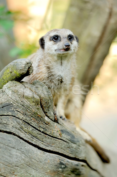 A meerkat standing upright and looking alert Stock photo © byrdyak