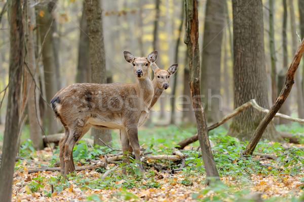 Herten mooie jonge Rood bos portret Stockfoto © byrdyak