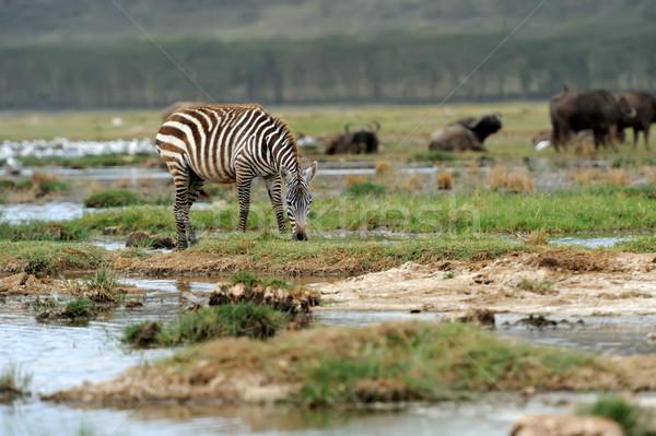 シマウマ 公園 アフリカ ケニア 自然 馬 ストックフォト © byrdyak