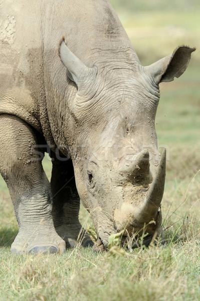 Rhino резерв Африка Кения кожи парка Сток-фото © byrdyak