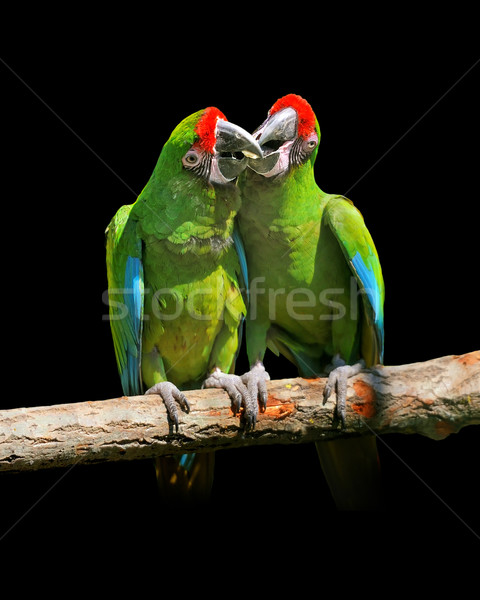 Parrot (Severe Macaw) Stock photo © byrdyak
