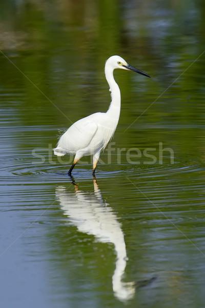 White egret Stock photo © byrdyak
