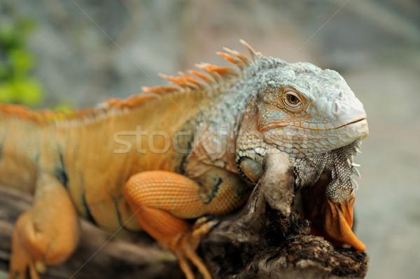 Leguaan portret macro shot hoofd bos Stockfoto © byrdyak
