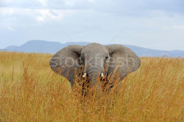 Elefánt park Kenya nagy Afrika baba Stock fotó © byrdyak