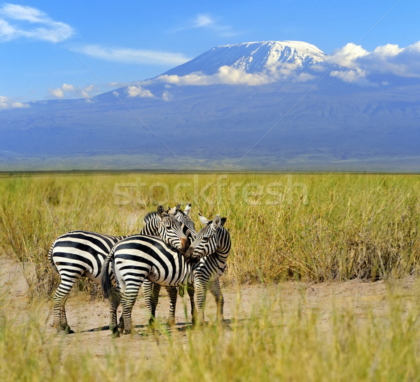 Zebra Mount Kilimanjaro afrika park dier avontuur Stockfoto © byrdyak
