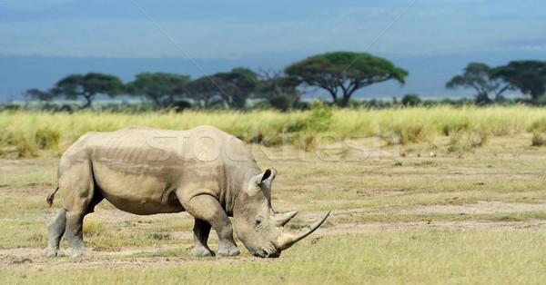 Stock photo: Rhino