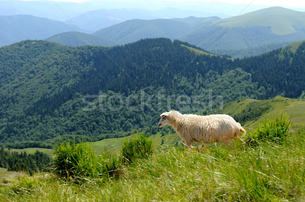 Sheep in mountain Stock photo © byrdyak