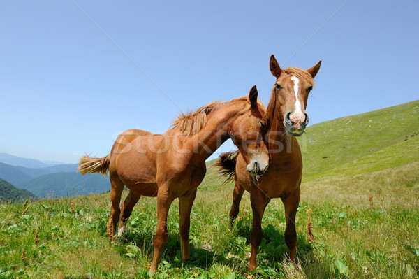 Two horses in mountain Stock photo © byrdyak