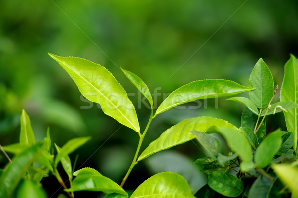 Té hojas brote Sri Lanka cielo primavera Foto stock © byrdyak