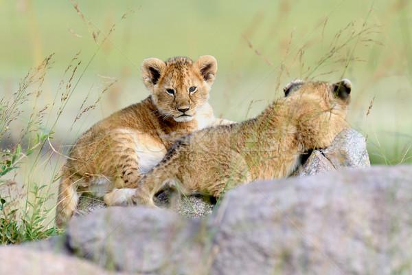 ライオン カブ アフリカ 公園 ケニア アフリカ ストックフォト © byrdyak