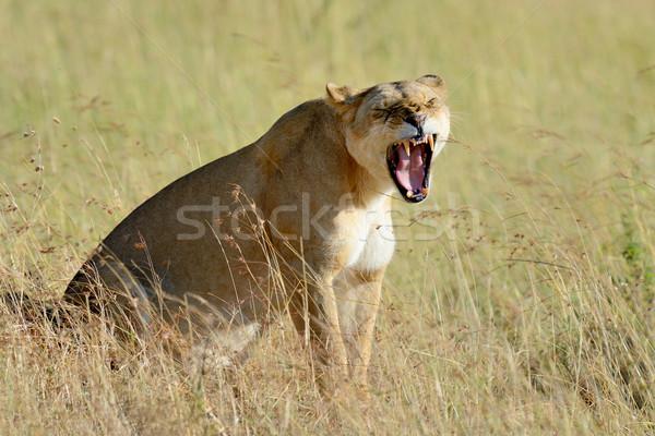 Aslan park Kenya Afrika kedi Stok fotoğraf © byrdyak