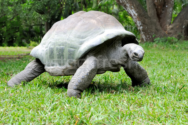 African turtle in grass Stock photo © byrdyak