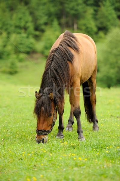 馬 を実行して フィールド 夏 日 太陽 ストックフォト © byrdyak