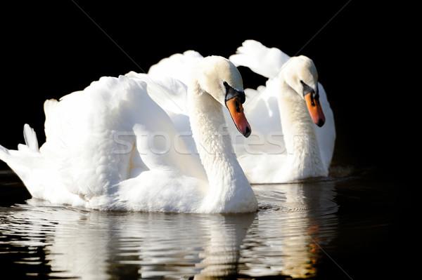 Foto d'archivio: Swan · lago · buio · acqua · luce · sfondo
