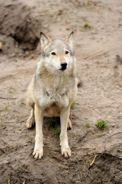 Timber Wolf (Canis lupus) Stock photo © byrdyak