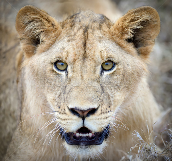 Lew portret blisko parku Kenia Afryki Zdjęcia stock © byrdyak