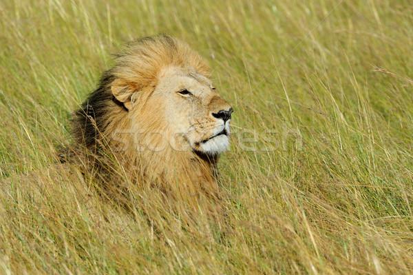 Stock fotó: Zárt · oroszlán · park · Kenya · Afrika · macska