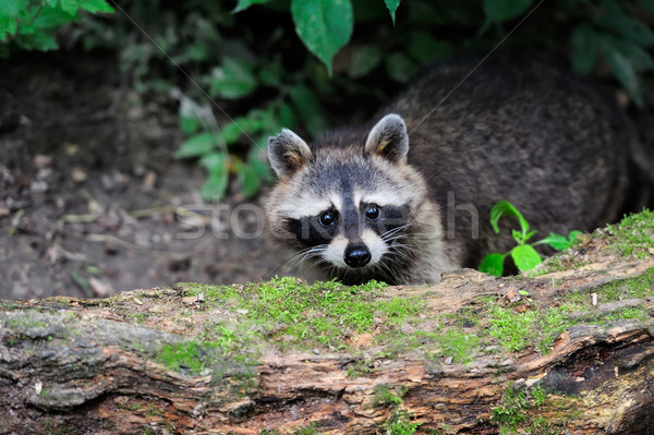 Wasbeer bos natuurlijke milieu boom baby Stockfoto © byrdyak