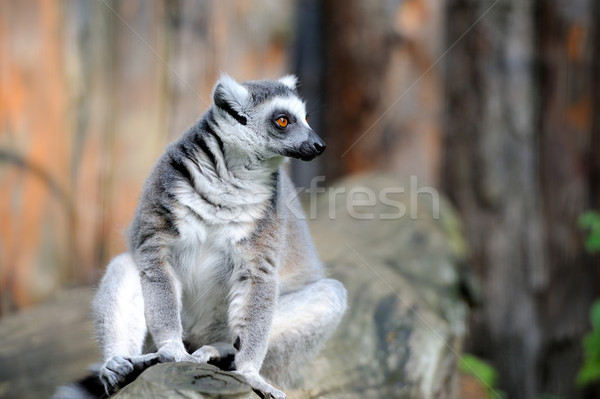 Lemur Stock photo © byrdyak