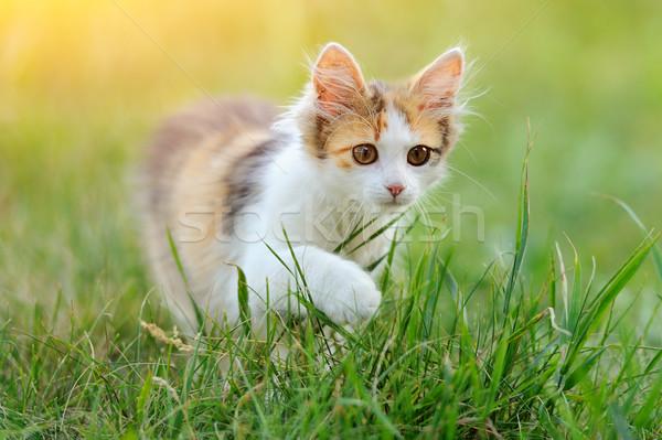 Young cat Stock photo © byrdyak