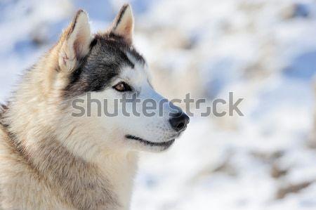 ハスキー 犬 冬 肖像 顔 目 ストックフォト © byrdyak