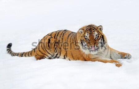 Tigre belo neve sangue boca Foto stock © byrdyak
