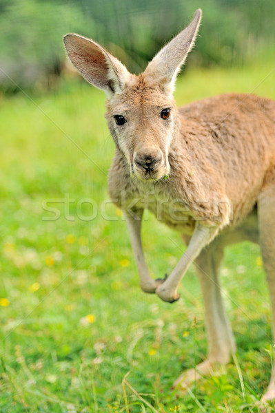 Kangaroo Stock photo © byrdyak