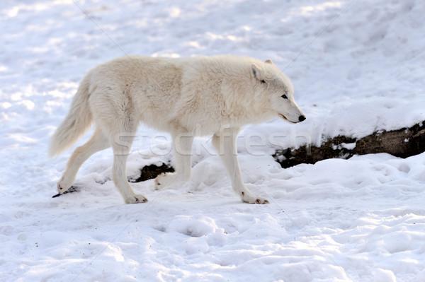 Wolf Stock photo © byrdyak