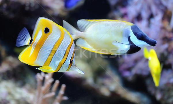 тропические рыбы фото коралловый риф рыбы океана синий Сток-фото © byrdyak
