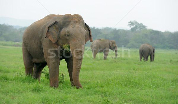 Elefántok park Sri Lanka baba háttér bőr Stock fotó © byrdyak