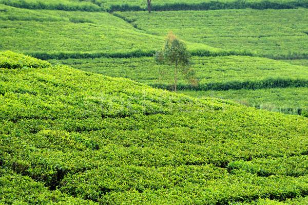 Tea plantation highlands Stock photo © byrdyak