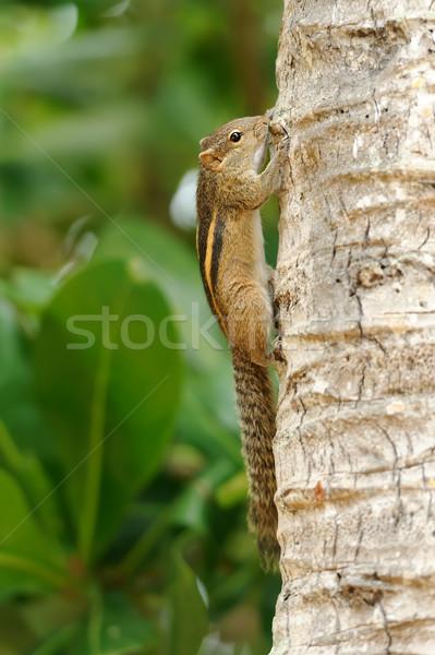 Wild chipmunk Stock photo © byrdyak