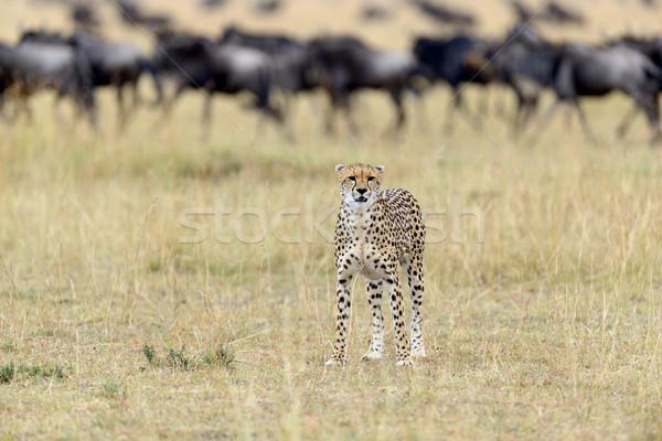 Guépard sauvage africaine belle mammifère animaux Photo stock © byrdyak