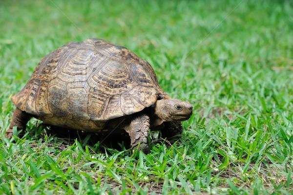 Schildpad gras afrikaanse schildpad oog zomer Stockfoto © byrdyak